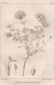 Botanical Print - Botany - Nepeta longibracteata Benth (Victor Jacquemont)