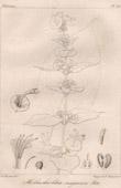 Botanischer Druck - Botanik - Holmskioldia sanguinea Retz (Victor Jacquemont)