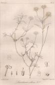 Botanical Print - Botany - Lantana collina (Victor Jacquemont)