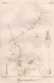 Botanischer Druck - Botanik - Bignonia glauca (Victor Jacquemont)