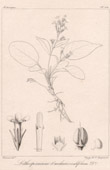 Botanischer Druck - Botanik - Jasminum Jacquemontii (Victor Jacquemont)