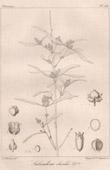 Botanischer Druck - Botanik - Salvadora oleoides (Victor Jacquemont)