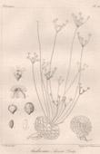 Botanischer Druck - Botanik - Androsace Aizoon Duby (Victor Jacquemont)