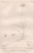 Botanischer Druck - Botanik - Androsace foliosa Duby (Victor Jacquemont)