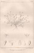 Botanischer Druck - Botanik - Königia monandra (Victor Jacquemont)