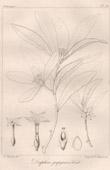 Botanischer Druck - Botanik - Daphne papyracea Wall (Victor Jacquemont)