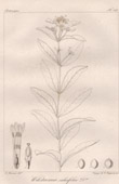 Botanischer Druck - Botanik - Wikstramia salicifolia (Victor Jacquemont)