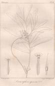 Botanischer Druck - Botanik - Lasiosiphon speciosus (Victor Jacquemont)