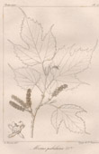 Botanischer Druck - Botanik - Morus pabularia (Victor Jacquemont)