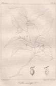 Botanischer Druck - Botanik - Celtis eriocarpa (Victor Jacquemont)