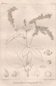 Botanischer Druck - Botanik - Girardinia heterophylla (Victor Jacquemont)