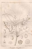 Botanischer Druck - Botanik - Bischofia oblongifolia (Victor Jacquemont)