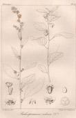 Botanischer Druck - Botanik - Baliospermum indicum (Victor Jacquemont)