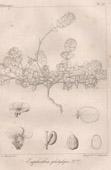 Botanischer Druck - Botanik - Euphorbia platylepis (Victor Jacquemont)