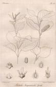 Botanischer Druck - Botanik - Betula Jacquemontii Spach (Victor Jacquemont)