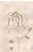 Botanischer Druck - Botanik - Clethropsis nitida Spach (Victor Jacquemont)