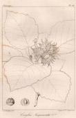 Botanical Print - Botany - Corylus Jacquemontii (Victor Jacquemont)