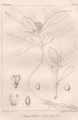Botanischer Druck - Botanik - Anquetilea Laureola (Victor Jacquemont)