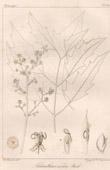 Botanischer Druck - Botanik - Ailanthus excelsa Roxb (Victor Jacquemont)