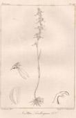 Botanical Print - Botany - Neottia Lindleyana (Victor Jacquemont)