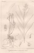 Botanical Print - Botany - Cephalanthera acuminata (Victor Jacquemont)