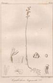 Botanical Print - Botany - Corallorhiza Jacquemontii (Victor Jacquemont)