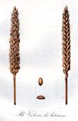 Botanischer Druck - Botanik - Weizen - Bl� Victoria d'Automne