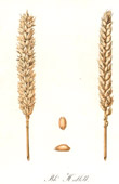 Botanical Print - Botany - Wheat - Blé Hallett