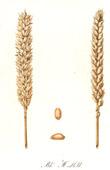 Botanischer Druck - Botanik - Weizen - Bl� Hallett