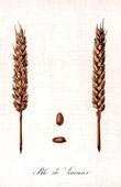 Botanischer Druck - Botanik - Weizen - Bl� de Saumur