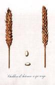 Botanischer Druck - Botanik - Weizen - Blé Chiddam d'Automne à Epi Rouge