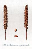 Botanischer Druck - Botanik - Weizen - Blé de Bordeaux ou Rouge Inversable