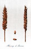 Botanischer Druck - Botanik - Weizen - Blé Rouge de Provence