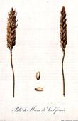 Botanischer Druck - Botanik - Weizen - Blé de Mars de Californie