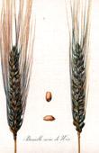 Botanical Print - Botany - Wheat - Blé Pétanielle Noire de Nice