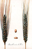 Botanical Print - Botany - Wheat - Bl� P�tanielle Noire de Nice