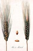 Botanischer Druck - Botanik - Weizen - Blé de Médéah