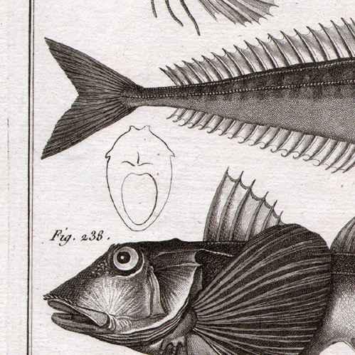Stampe antiche pesce pesci ittiologia 1788 tavola 60 panckoucke collezione dell - Pesci comuni in tavola ...