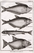 Fish - Ichthyology - 1788 - Plate 70 - Panckoucke - Collection of the Diderot's Encyclopédie