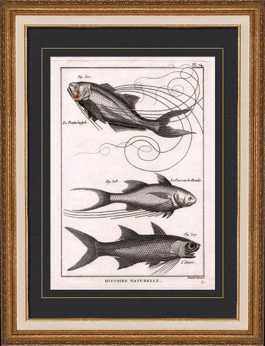 Stampe antiche pesce pesci ittiologia 1788 - Pesci comuni in tavola ...