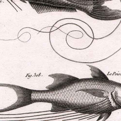 Stampe antiche stampa di pesce pesci ittiologia 1788 tavola 74 panckoucke - Pesci piu comuni in tavola ...