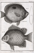 Fish - Ichthyology - 1788 - Plate 94 - Panckoucke - Collection of the Diderot's Encyclopédie