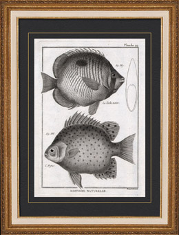 Fish - Ichthyology - 1788 - Plate 94 - Panckoucke - Collection of the Diderot's Encyclop�die