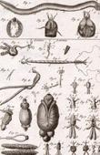 Molluskenwurm - Mixine - Helminthologie - 1791 - Tafel  78 - Panckoucke - Sammlung Diderots Enzyklopädie