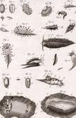 Molluskenwurm - Doris - Helminthologie - 1791 - Tafel  82 - Panckoucke - Sammlung Diderots Enzyklop�die