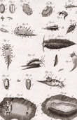 Molluskenwurm - Doris - Helminthologie - 1791 - Tafel  82 - Panckoucke - Sammlung Diderots Enzyklopädie