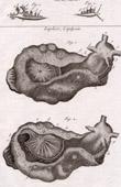 Molluskenwurm - Doris - Helminthologie - 1791 - Tafel  83 - Panckoucke - Sammlung Diderots Enzyklopädie