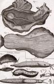 Molluskenwurm - Laphysia - Helminthologie - 1791 - Tafel  84 - Panckoucke - Sammlung Diderots Enzyklopädie