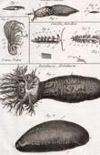 Molluskenwurm - Laphysia - Helminthologie - 1791 - Tafel  85 - Panckoucke - Sammlung Diderots Enzyklopädie