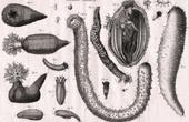 Molluskenwurm - Holothuria - Helminthologie - 1791 - Tafel  86 - Panckoucke - Sammlung Diderots Enzyklopädie